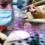 Vakcína proti prasečí chřipce: 12 otázek a odpovědí