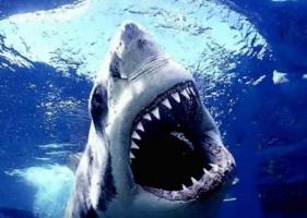 Jak loví žraloci - neodolatelná chuť krve