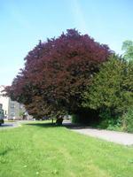 Buk lesní červenolistý