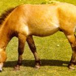 Koně Převalského se vracejí do Slatiňan