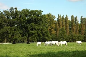 Za Starokladrubským koněm