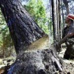 Kácení stromů povoleno