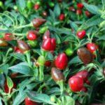 Péče o dospělé chilli papričky