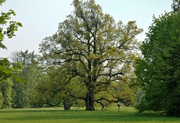 Seriál - Staré a památné stromy Chrudimska VIII. - Dub letní
