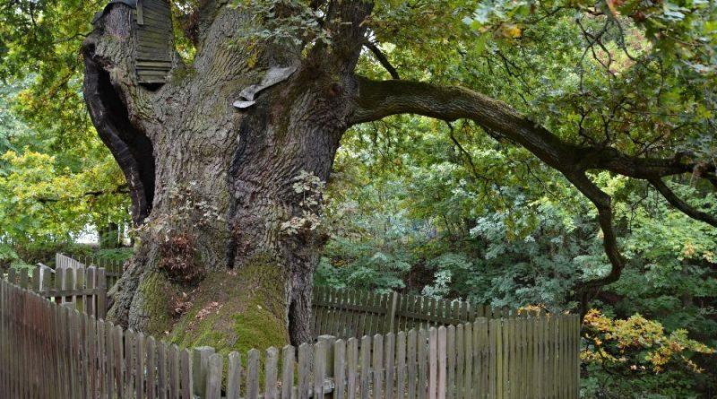 Žižkův dub v Podhradí