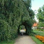 Seriál – Staré a památné stromy Chrudimska XII. – Buk lesní kultivary
