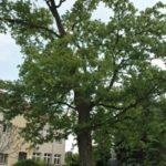 Seriál – Staré a památné stromy Chrudimska XIII. – Javory