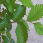 Seriál – Staré a památné stromy Chrudimska XV. – Jilmy