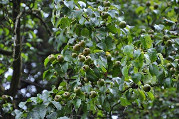 Hrušeň - polnička - plody