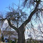Seriál – Staré a památné stromy Chrudimska XVI. – Hrušně