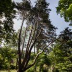 Evropský strom roku – hlasujte pro naši borovici!