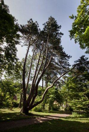 Evropský strom roku - hlasujte pro naši borovici! Foto: Lenka Grossmannová