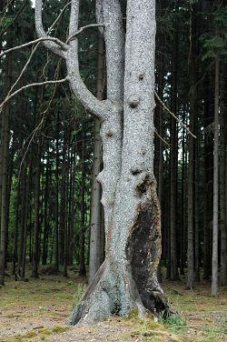 Seriál - Staré a památné stromy Chrudimska III. - Jehličnany