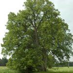 Nejkrásnějším stromem Chrudimska je lípa