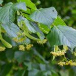 Staré a památné stromy Chrudimska IV. – Lípa srdčitá