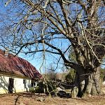 Staré a památné stromy Chrudimska V. – Lípa velkolistá