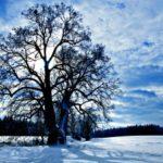 Bude naše česká Lípa na Lipce  Evropským stromem roku 2017?