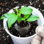 Přesazování rostlin chilli papriček
