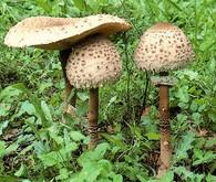 Chrudimka na houbách - Bedla vysoká