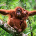 Sumatra – země orangutanů a sopek