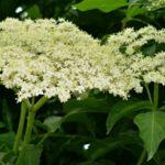 Marmeláda z květů černého bezu