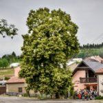 Začalo klání o Evropský strom roku – české barvy v něm hájí stoletá lípa z Velkých Opatovic