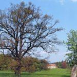 Seriál – Staré a památné stromy Chrudimska VIII. – Dub letní