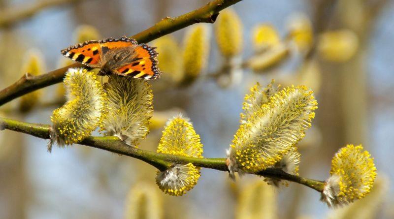Pylová alergie