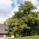Zpívající lípa je ve finále Stromu roku. Z Pardubic je i Strom hrdina: Strážce Podkovy